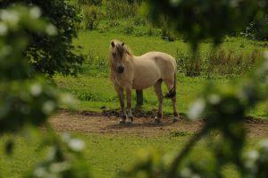 Safira, Eifelhof pony